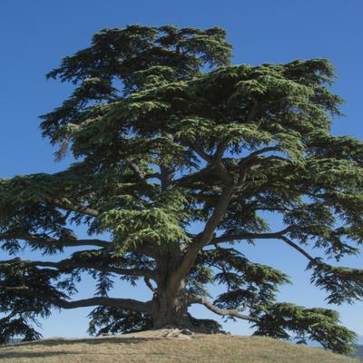 cedar of lebonan tree